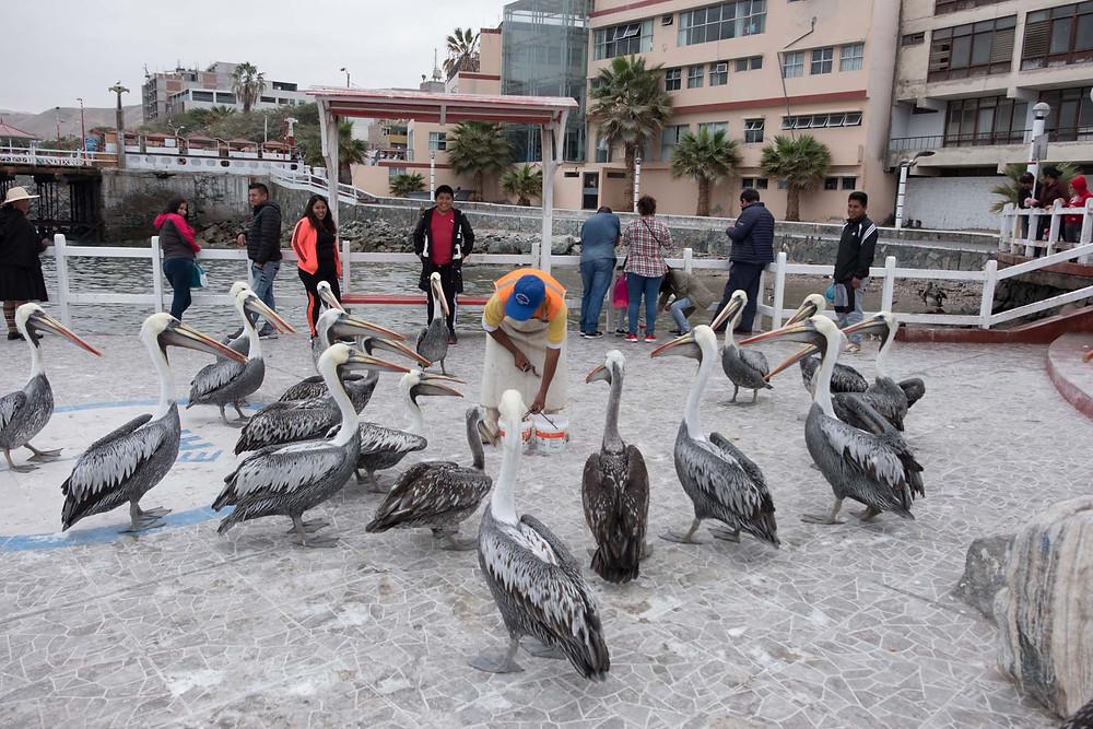 Man feeding the Pelicans - AvVida.co.uk