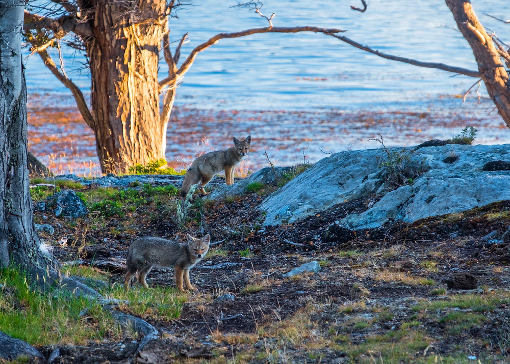 Two beautiful fox cubs playing around the shore line on the Beagle Channel wild camp - AvVida.co.uk