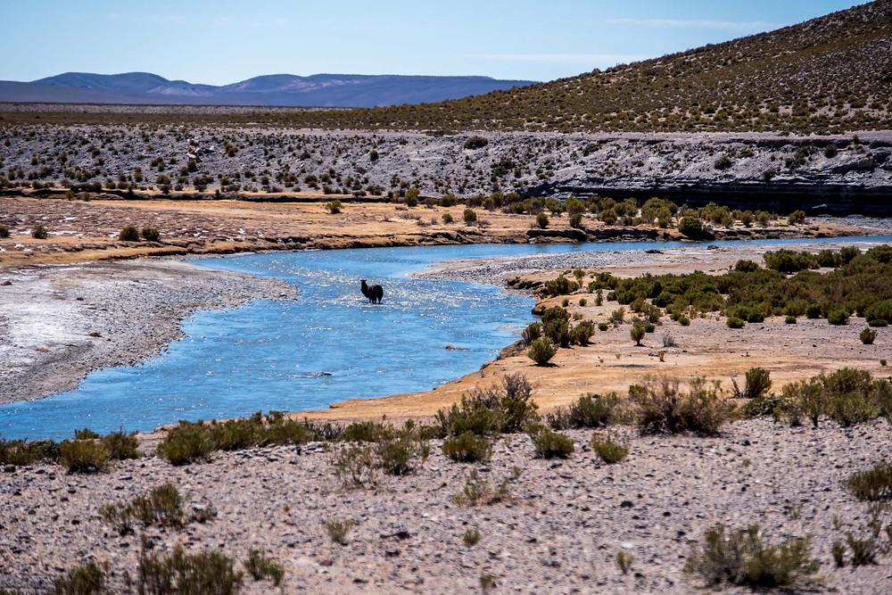 A Llama having a bath in the river near Villa del Mar - AvVida.co.uk