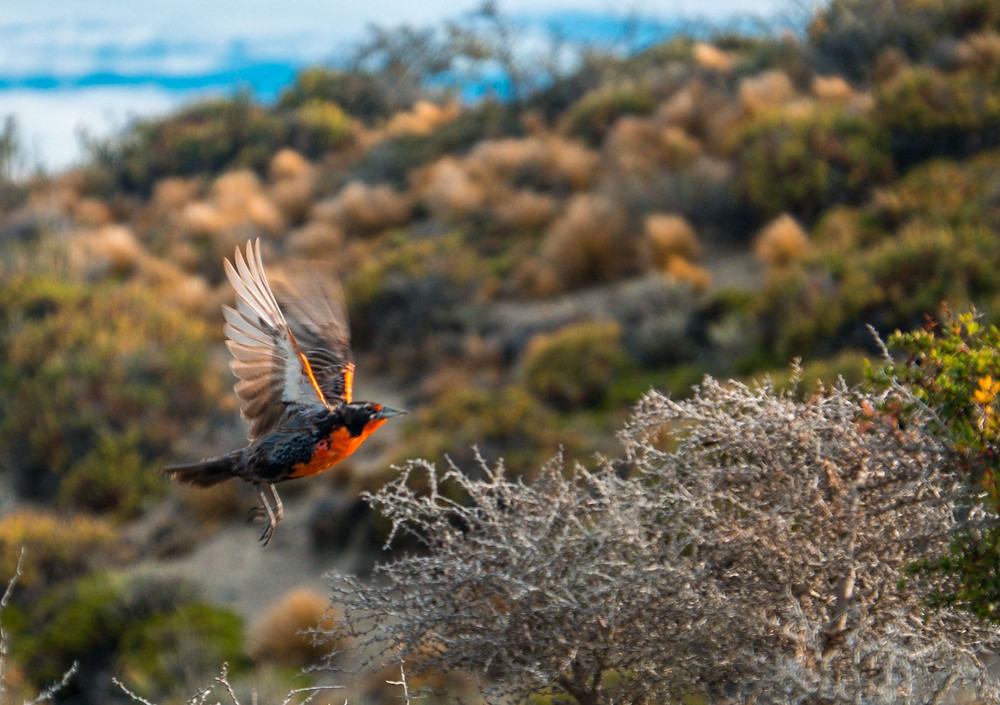 Long-tailed Meadowlark we saw camping near Reserva Provincial Cabo Virgenes - AvVida.co.uk