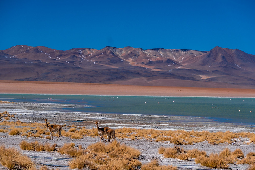 Vicunas at Laguna Chalviri - AvVida.co.uk