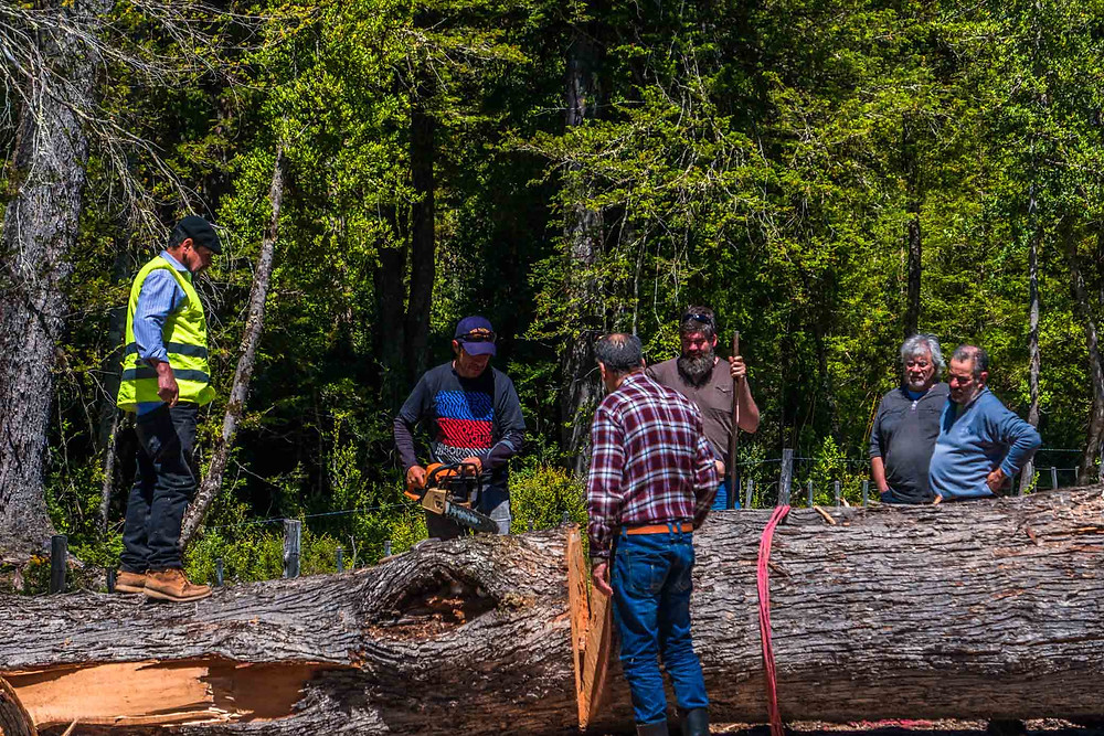 Chilean Locals sawing through the tree felled purposefully by miners to fall across the road on the Carretera Austral - AvVida.co.uk