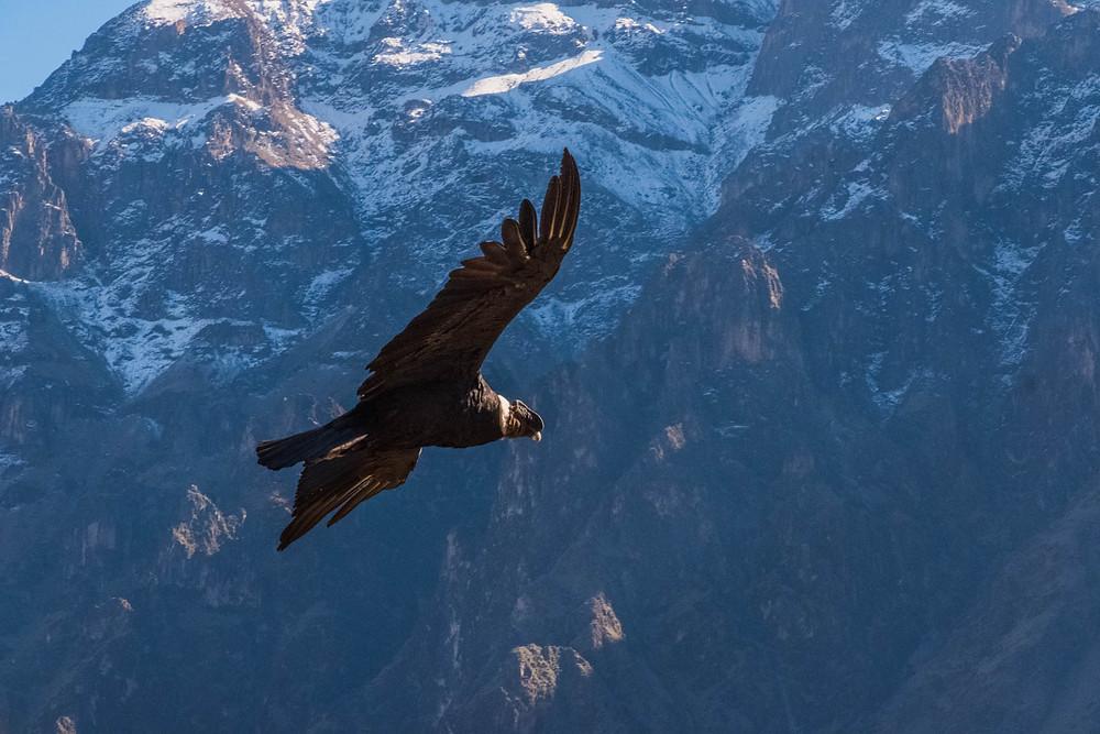 Stunning Condor - AvVida.co.uk