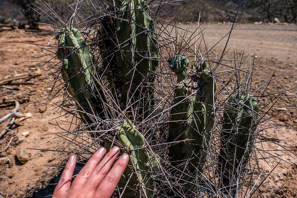 Humungous cactus spines - AvVida.co.uk