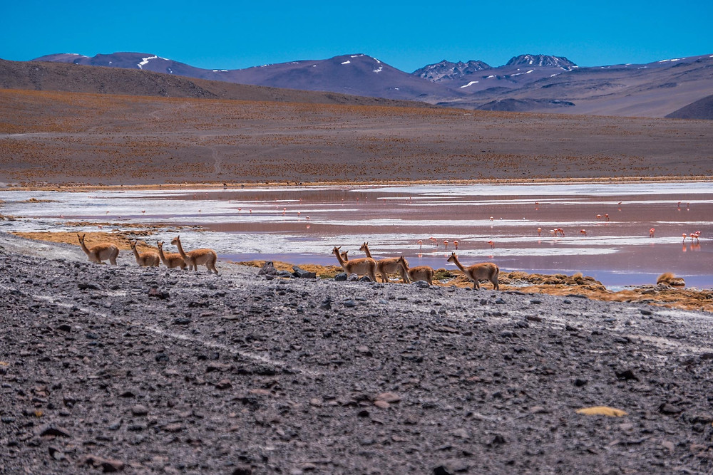 Lots of Vicunas at Laguna Colorada - AvVida.co.uk