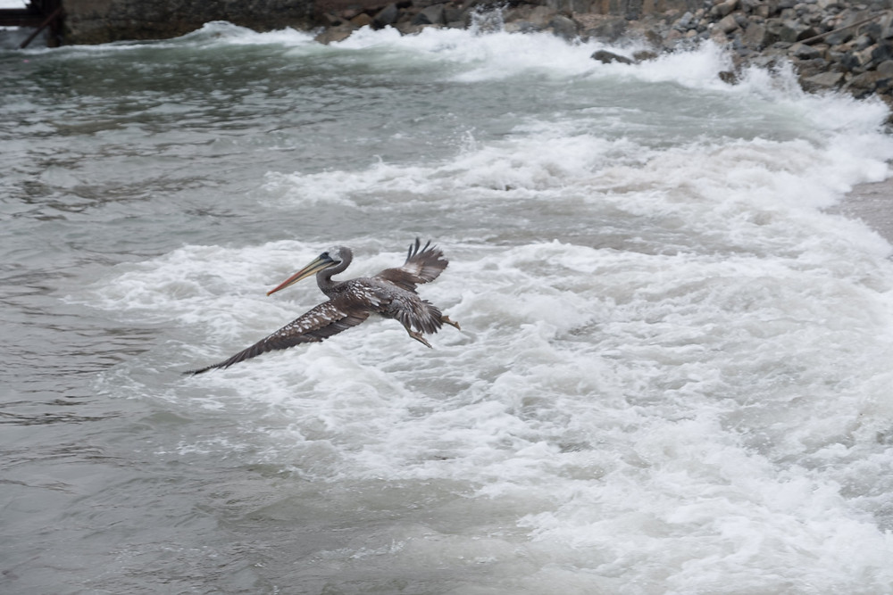 Pelican flying, Ilo, Peru - AvVida.co.uk