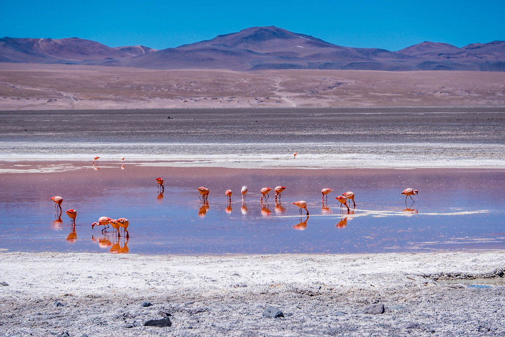 Flamingos in Laguna Colorada - AvVida.co.uk