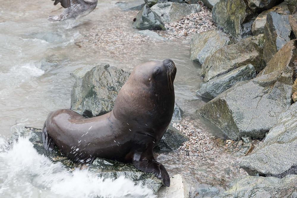 Seal in Ilo, Peru - AvVida.co.uk