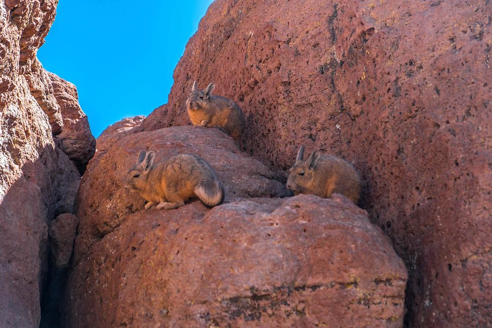 Viscachas on the Lagunas Route - AvVida.co.uk