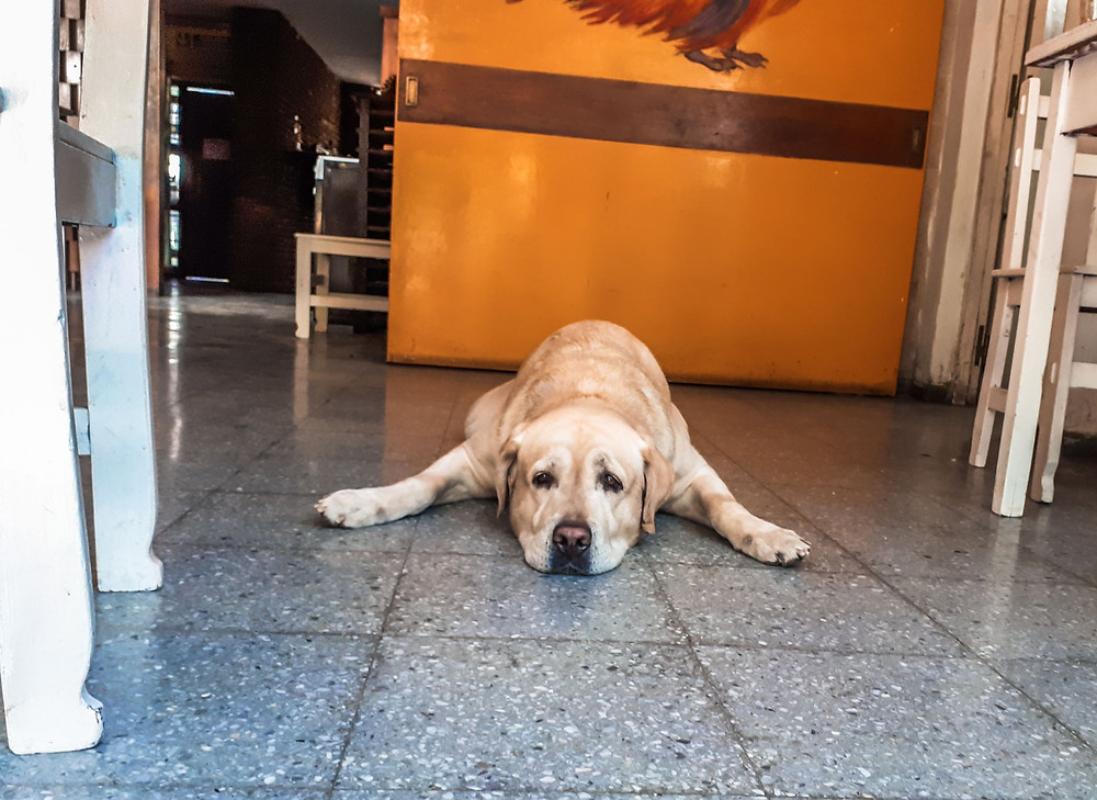Wilson the dog at Sosahaus Hostel Mendoza - AvVida.co.uk