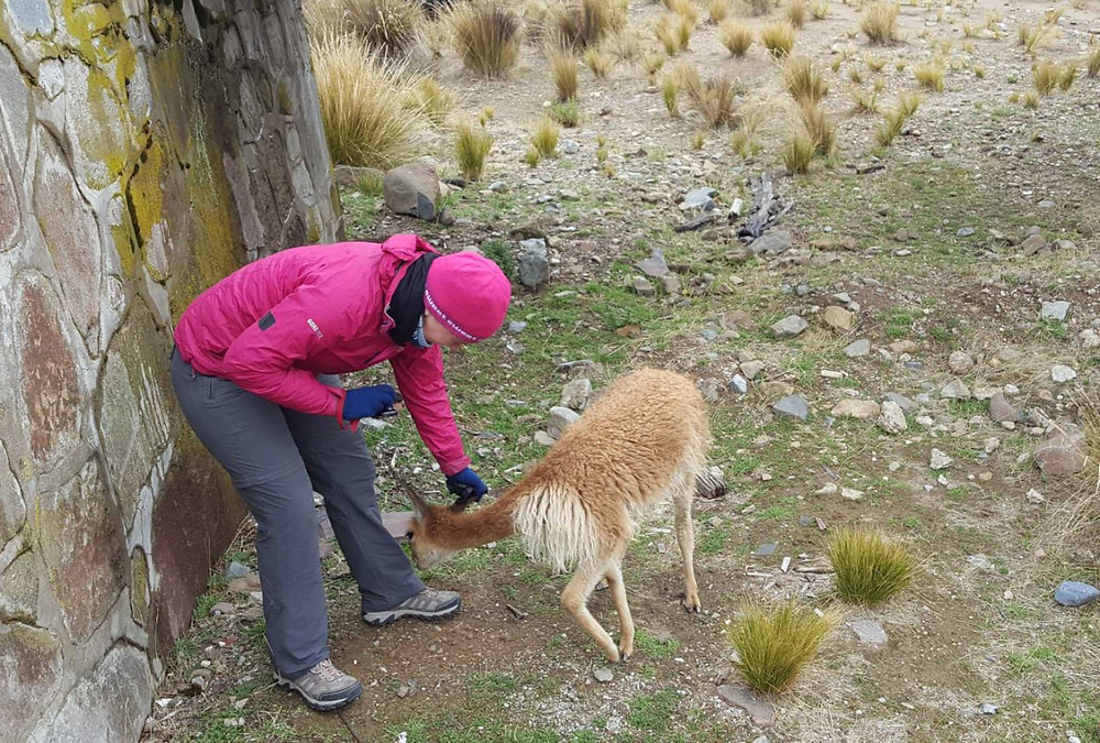 Vicuna eating Suzie's pants - Picture by Kelvin Prevett