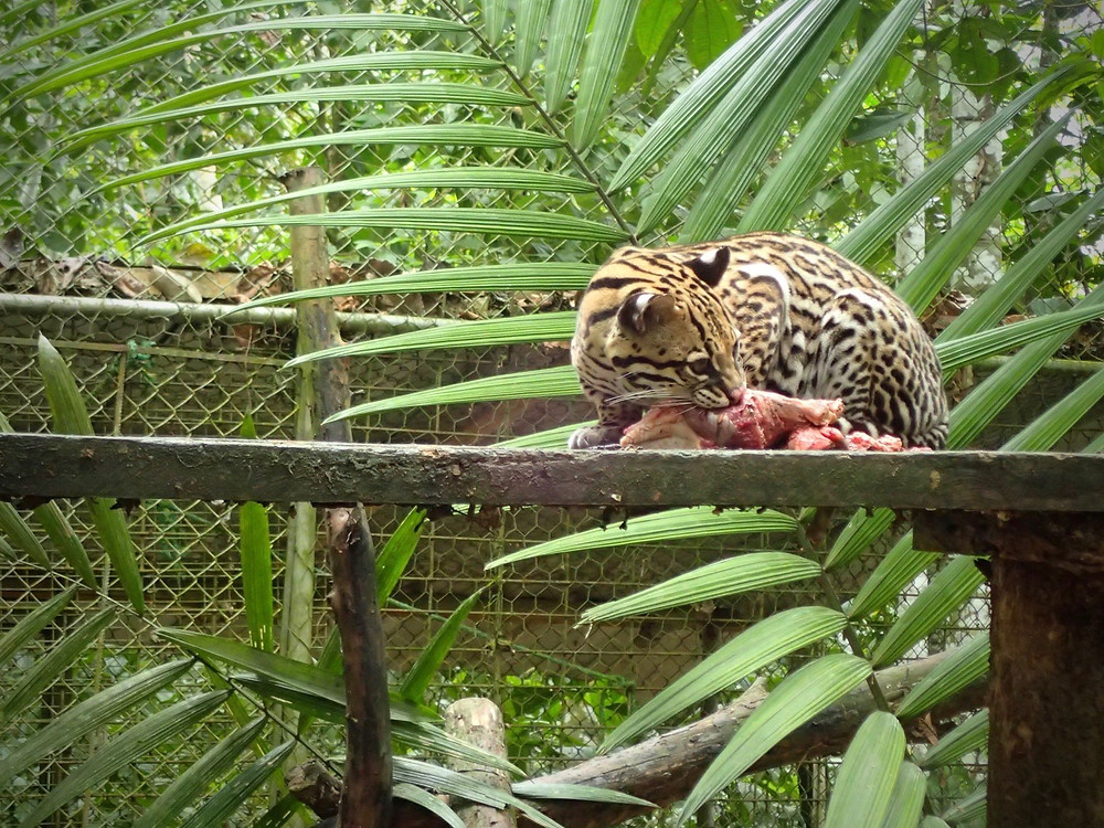 Jaguar feeding time. Amazing cats.