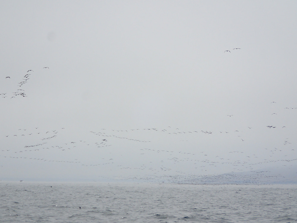 Thousands of birds flying over the water.