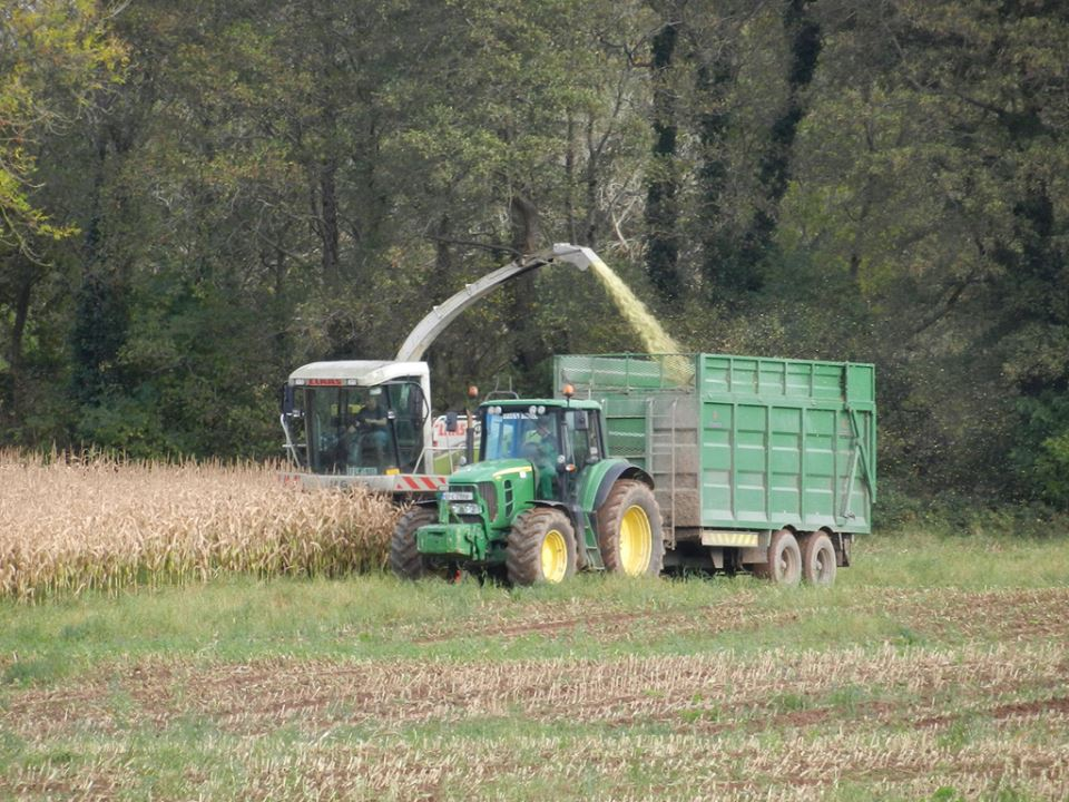 More Maize Harvesting