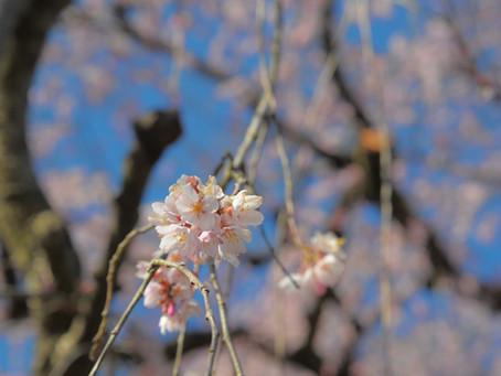 甲斐百八霊場 第10番 慈雲寺 の糸桜