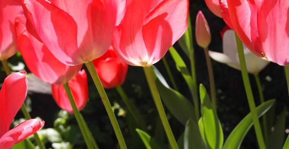 光 チューリップ  ピンク 横.JPG