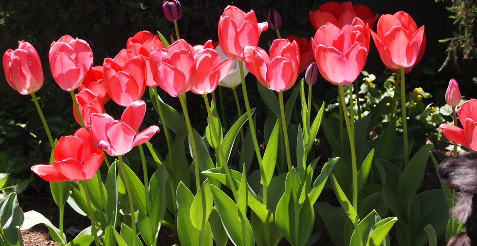 光 チューリップ 花々.JPG
