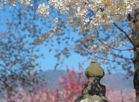百八霊場 38番 慈眼寺 桜と桃と菜花と