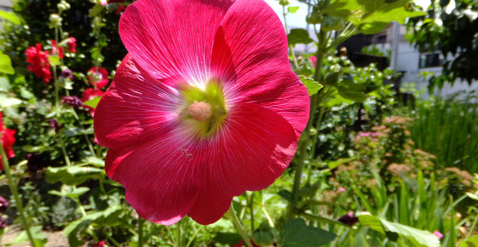 夏 赤い花1.jpg