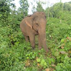Cĥāng (Elephants)