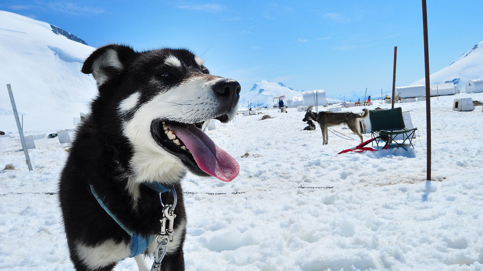 Glacier Dog Sled Tours 280lbs+