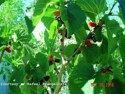 Nigra berries.jpg