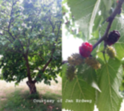 Norfolk Black Mulberry with fruit .jpg