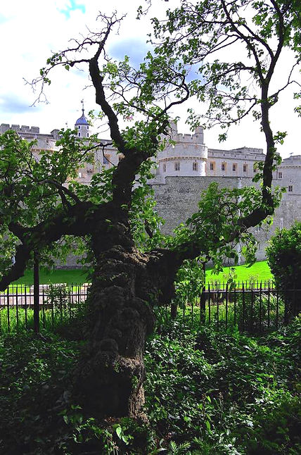 Tower of London Black Mulberry