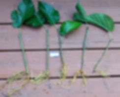 Silk Hope softwood cutting.jpg