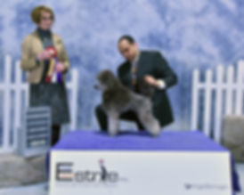 Tita New Champion_2735 mini poodle.jpg