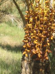 palmeraie dattes.jpg