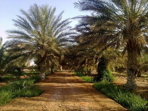 palmeraie PALMIERS DE TIGDIDINE  AIN ZAR