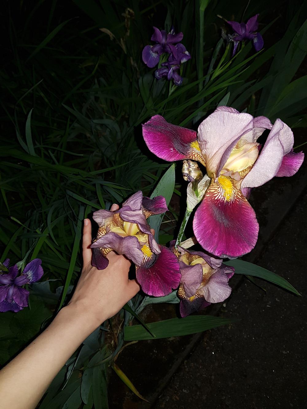 Salamalla otetussa kuvassa näkyy iso lila-keltainen kukka jota pitelen kädelläni. Kukka muistuttaa iiristä