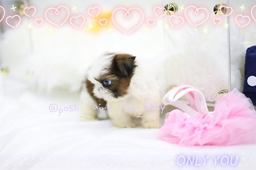 Blue eyes teacup Shih tzu girl Dixie