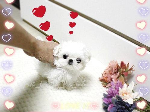 prettiest micro maltese boy Yujin