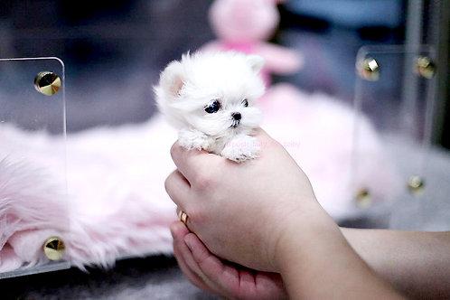 micro maltese puppy girl Bmine