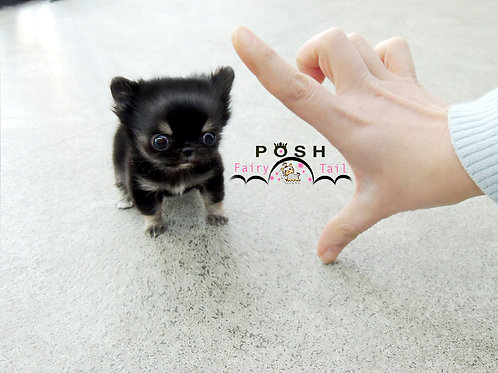 smallest chihuahua boy JayBlack