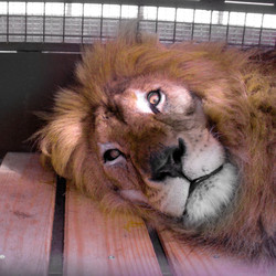 "BOLIVIA - ""LIONS ARK -ADI"""