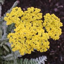 Yarrow - Yellow