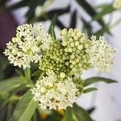 Swamp Milweed White