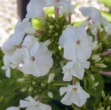 Garden Phlox White
