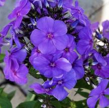 Garden Phlox Purple