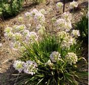 German Garlic