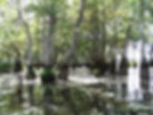 Nyssa Aquatica