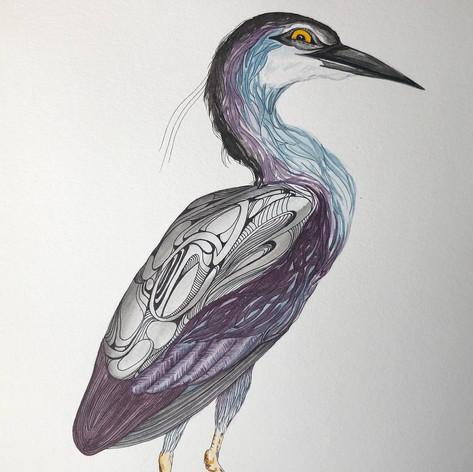 Ardea, Nycticorax - $100