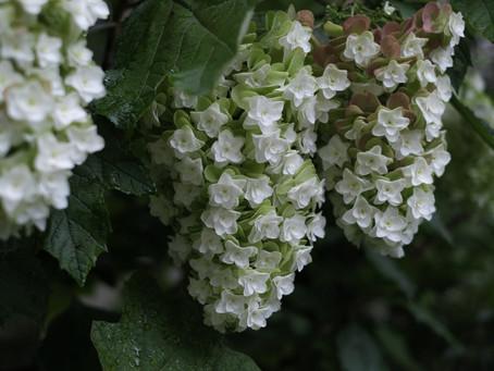 日々是花日 vol.11 紫陽花の愉しみ
