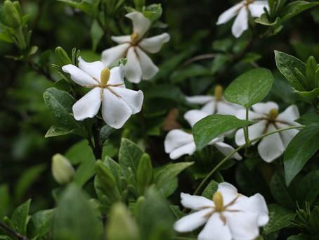日々是花日 vol.10 水無月の白い花
