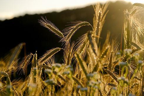 cereals-5399962_1920.jpg