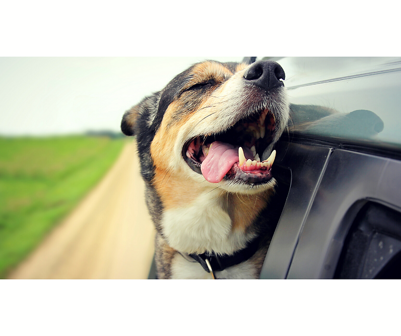 dog car 2.png