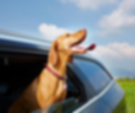 dog in car 3.png